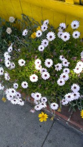 daisies.samo