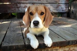 bfp.beagle