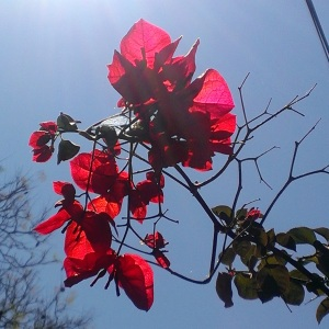 bougainvillea.rubyred