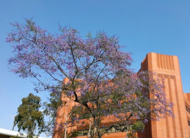 USC.jacaranda